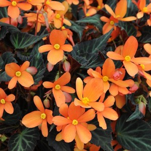 begonia-glowing-embers