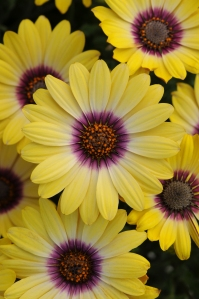 Osteospermum-Serenity-Blue-Eyed-Beauty