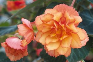 begonia-tuberhybrida-illumination-golden-picotee-c9160-1