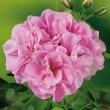 pel grand ivy pink