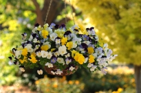 Viola-Wittrockiana-Cool-Wave-Pansies-Mixture-photo-PanAmerican-Seed-2