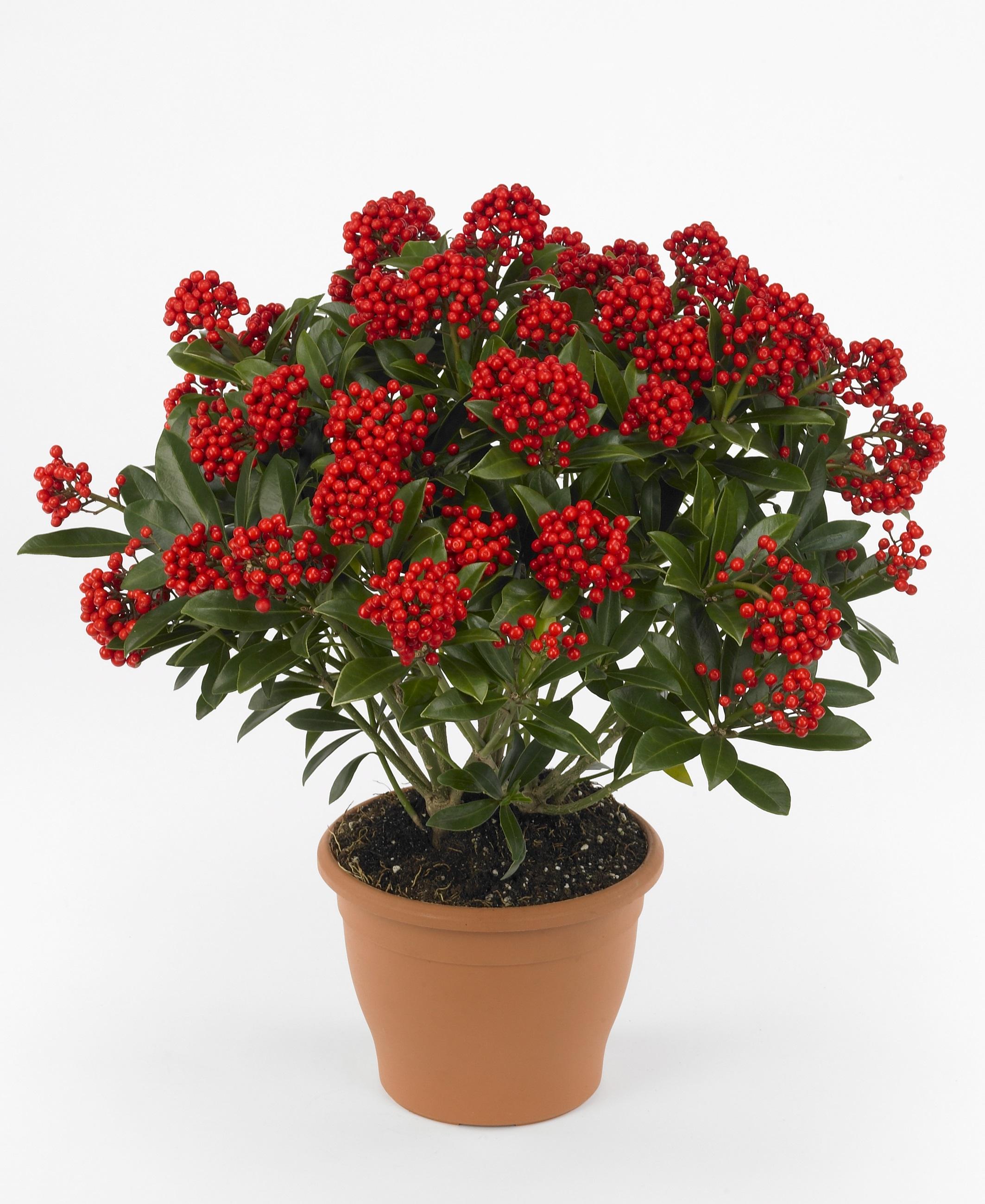 skimmia-japonica-pabella-photo-floraholland
