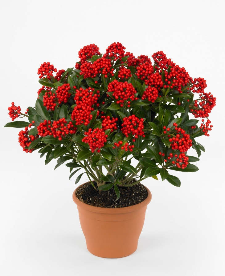 skimmia-japonica-pabella-photo-floraholland