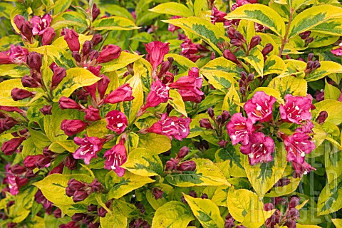 WEIGELA RUBIDOR (VARIEGATED)