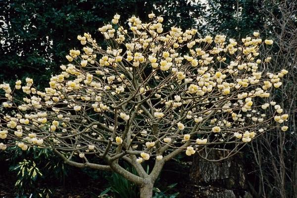 Edgeworthia-chrysantha-Snow-Cream.i-2246.s-20603.r-2_a3728db6-d8a2-49d2-90ad-95cf7e4b98a1_grande