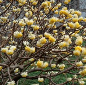 edgeworthia-chryantha-1-zoom