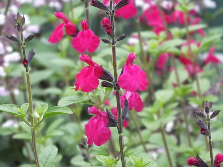 salvia_microphylla_lutea_cerise_form_2__resized